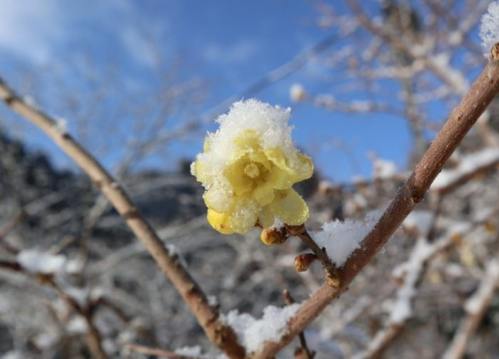 ろうそくの《 ろう 》のような質感があり、命名はたぶんそこから来ている。 当地では2月春一番に咲き始める。2019年2月11日撮影